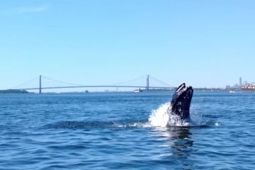 Humpback Whale by the Verrazano Bridge
